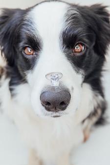 Ты выйдешь за меня. забавный портрет милого щенка бордер-колли, держащего обручальное кольцо на носу, изолированном на белом фоне. помолвка, брак, концепция предложения