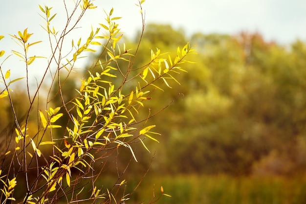 背景をぼかした写真に秋の黄葉を持つ柳の枝