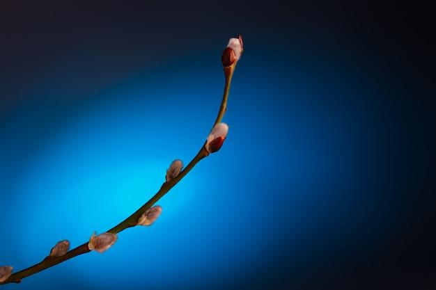 開花芽と柳の枝