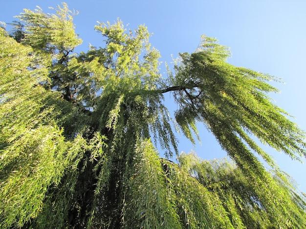 버드 나무 가지는 푸른 하늘에 매달려