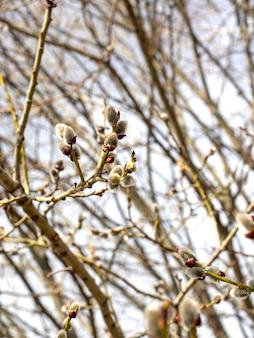 ヤナギの枝はつぼみが開いています。バックグラウンドで木の枝。春、4月、縦の写真