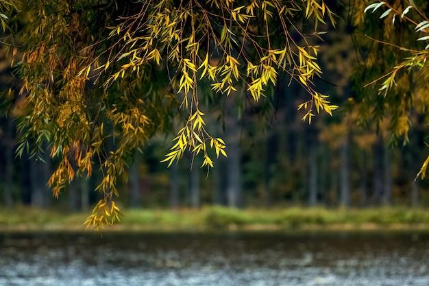黄色い紅葉をした柳の枝が川に垂れ下がっている