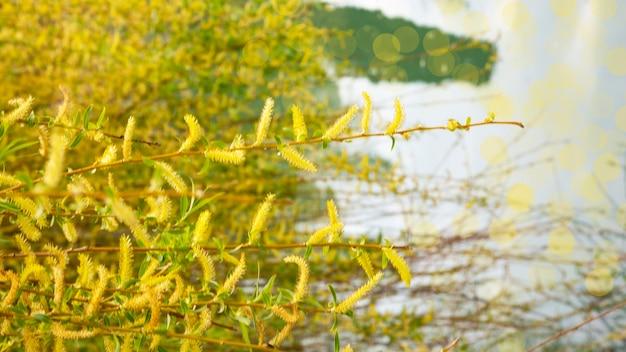 Ива у воды с отражением. цветущая ива ранней весной. желтые тычинки и ты на ветвях.