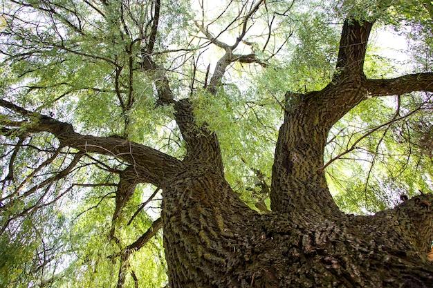 柳。素晴らしい広がりの木。空の高さまで。自然の静けさ。リラックスできる居心地の良い場所。