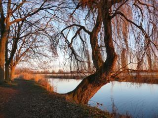 Willow , landscape