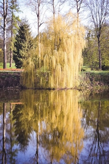 Willow on the river in the spring with filter