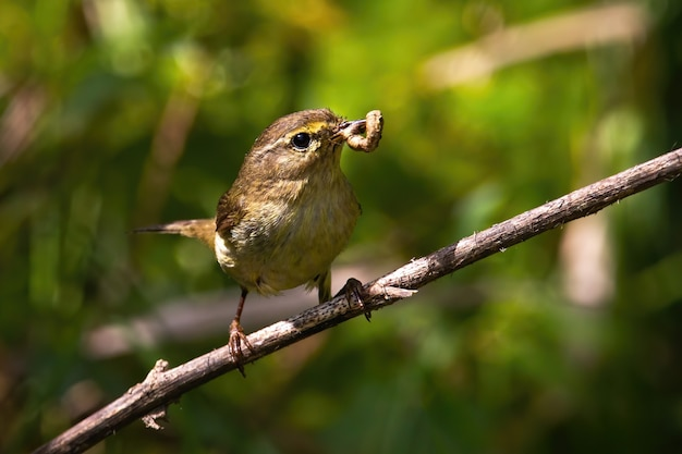 Willow warbler feeding on branch in summer nature.