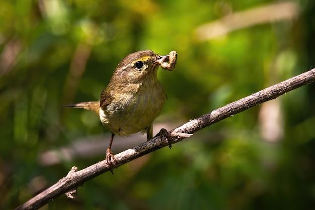 夏の自然の中で枝を食べているヤナギウグイス。 Premium写真