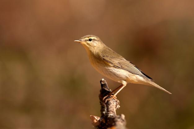 ウィローウグイス、phylloscopus trochilus、鳥、鳴禽類