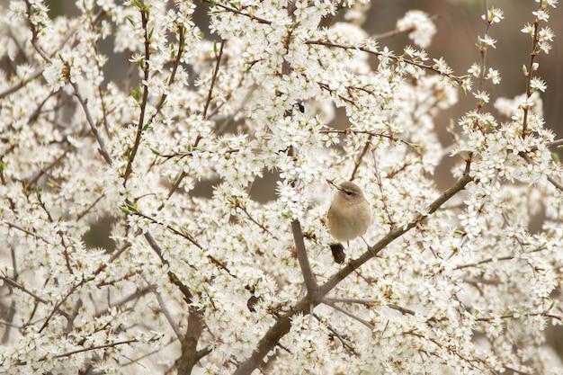 Ива камышевка сидит на цветущем дереве в весенней природе