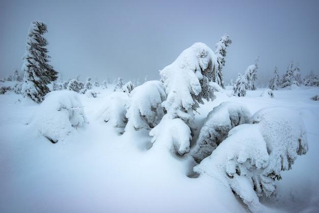 冬は雪に覆われた丘の中腹に生えている雪に覆われた若いモミの木に風が吹きます。過酷な北の自然と冬の美しさの概念。コピースペース