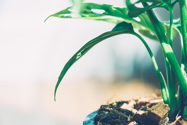 Window-leaf , monstera obliqua in pot