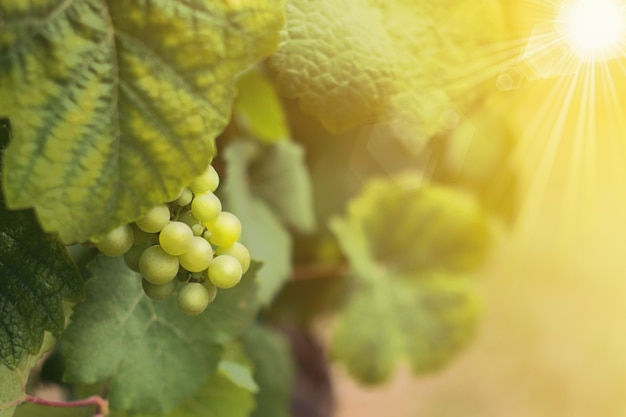 Wine grapes before havesting in summer time