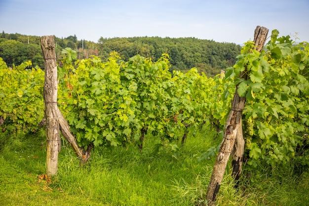 プラハ市チェコ共和国のブドウ農園のワインブドウ園若いワインの茂み