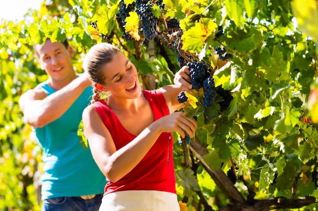 Winegrower picking grapes at harvest time