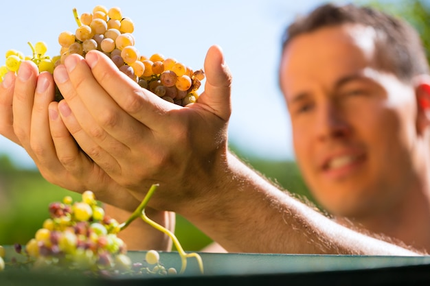 Winegrower working with grape