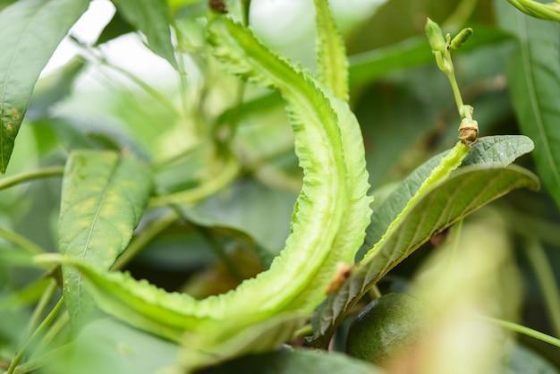 Крылатая фасоль растет на виноградном дереве, молодые крылатые бобы сельское хозяйство