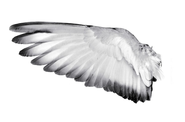 Wing feathers bird isolated on white background