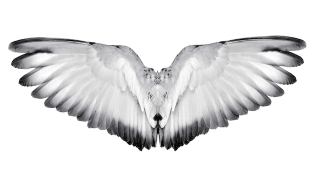 Крыло перьев пара птиц, изолированные на белом фоне