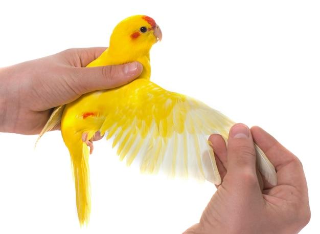 Wing of  red-fronted kakariki parakeet