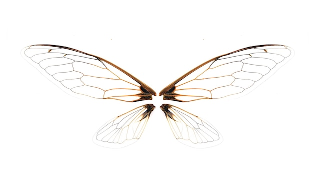 Wings of insect cicada on white background