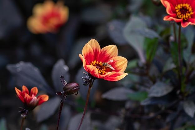 Wink dahlia floral orange flowers with dark leaves in the garden.