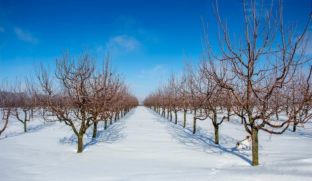 晴れた日の冬のリンゴ園。リンゴの木の列。