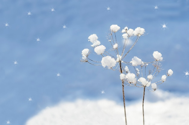 冬の背景-ぼやけた青い背景にコピースペースで選択的な焦点と雪と草の乾燥したブレード。