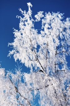 Winter, birch branches covered with hoarfrost, against the blue sky