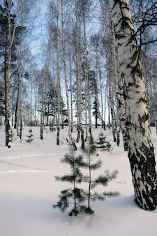 겨울 자작나무 숲. 전경에서 작은 크리스마스 트리. 저 멀리 자작나무 뒤