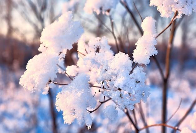 冬の枝。ぼやけた背景の茂みの枝の雪のクラスター