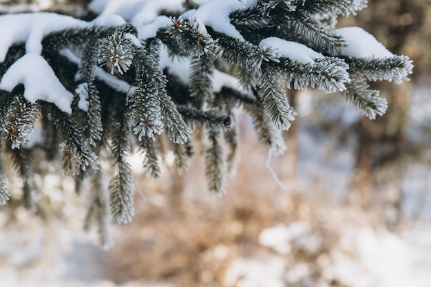 Winter bright background with pine branch in frost. snow-covered branches.