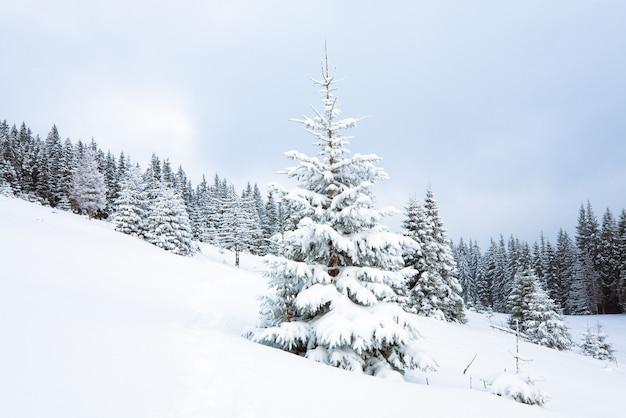 Зимний спокойный унылый горный пейзаж с елями на склоне (гора куколь, карпаты, украина)