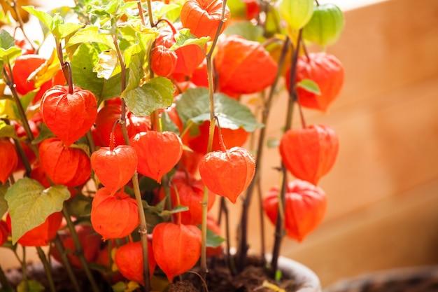鍋に冬のチェリーオレンジのサイサリスの花