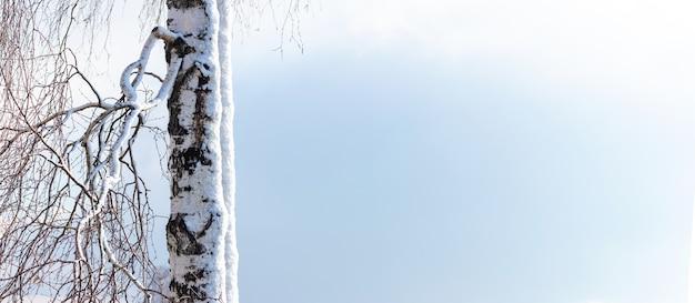 맑은 하늘 배경에 눈 덮인 자작나무 가지가 있는 겨울 크리스마스 및 새해 배경, 텍스트 복사 공간