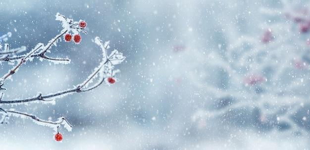 降雪、パノラマの間に茂みにガマズミ属の赤いベリーと冬のクリスマスの背景