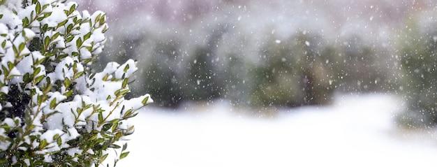 降雪時にぼやけた背景に雪に覆われたツゲの木の茂みと冬のクリスマスの背景