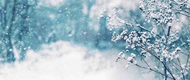 降雪、パノラマの間にぼやけた背景に植物の雪に覆われた乾燥した枝と冬のクリスマスの背景