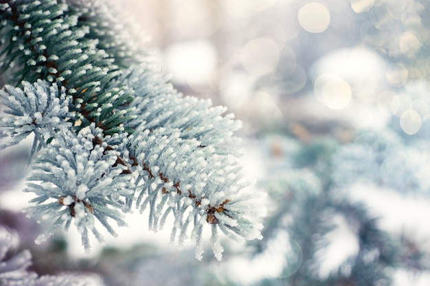 Winter christmas evergreen tree background
