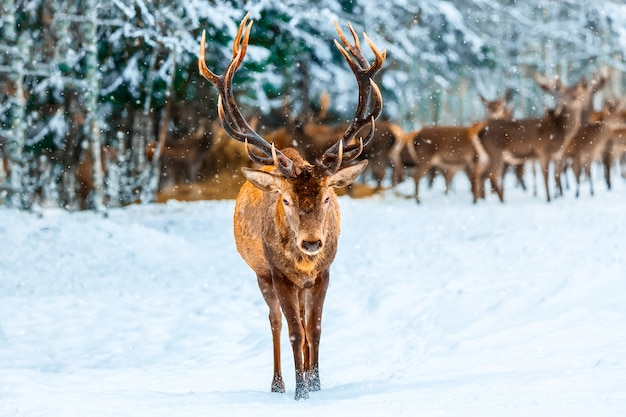 Winter christmas. single adult noble deer with big beautiful horns with snow against winter forest and deers group. european wildlife landscape with snow and deer with big antlers.