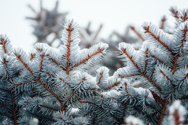 Winter cold snow frost background, fir tree branch close up, selective focus