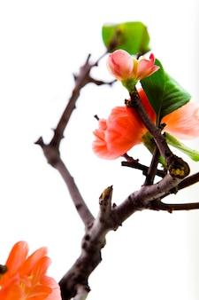 Зима, ранняя весна, розовый, долголетие слива, слива