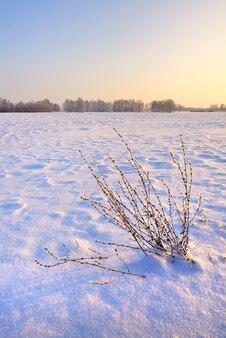 シベリアの冬のフィールド。夕方の光の青い雪の中の草の茂み Premium写真