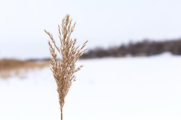 Зима, поле с сухой травой, покрытой белым снегом