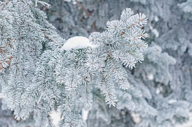 Winter . fir evergreen tree in hoarfrost and snow