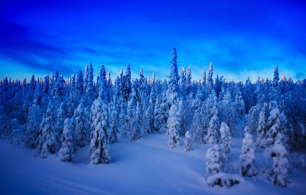 Winter fir forest during sunset landscape