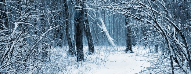 吹雪の後の冬の森。冬の森の雪に覆われた木