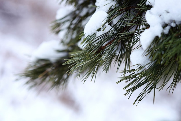 Winter forest. fir tree in the snow.