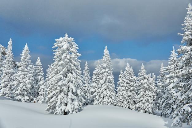 산의 겨울 숲, 모두 눈, 서리가 내린 아침으로 덮여 있습니다. 얼어 붙은 소나무와 가문비 나무.