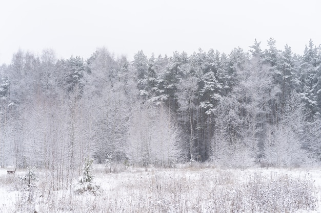 冬の森の風景。雪に覆われた背の高い木。公園の1月の冷ややかな日。